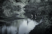 Egrets in tranquil river at Lago maggiore, Italy