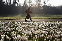 © Licensed to London News Pictures. 10/03/2014. Basingstoke, Hampshire UK. A woman walking past white crocus flowers beginning to open in War Memorial Park in Basingstoke today, 10th March 2014. The mornings are set to get colder over the next week due to clearer skies. Photo credit : Rob Arnold/LNP