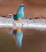 Southern cordonbleu (blue waxbill) (Uraeginthus angolensis) from Zimanga, South Africa.
