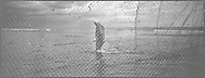 Salmon netter Bob Ritchie walking through sea at low tide while fishing for salmon caught in 'jumper' nets on the sands at Kinnaber, Angus.<br /> Ref. Catching the Tide 31/00/10 (30th May 2000)<br /> <br /> The once-thriving Scottish salmon netting industry fell into decline in the 1970s and 1980s when the numbers of fish caught reduced due to environmental and economic reasons. In 2016, a three-year ban was imposed by the Scottish Government on the advice of scientists to try to boost dwindling stocks which anglers and conservationists blamed on netsmen.