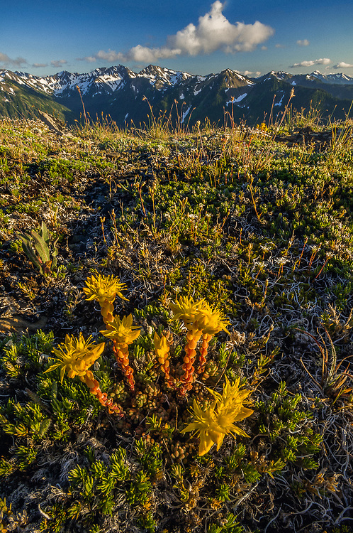 Stonecrop (Sedum divergens), evening light, view from Obstruction Point , Olympic National Park, Clallam County, Washington, USA