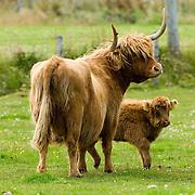 Highland Cattle near Thurso Caithness) Scotland Aug 4 2007