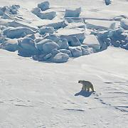 A polar bear (Ursus maritimus) makes its way across the Beaufort Sea Ice pack. Kaktovik, Alaska
