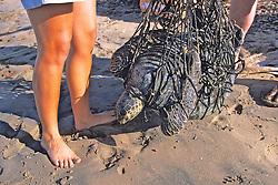 Black Sea Turtle Being Weighed