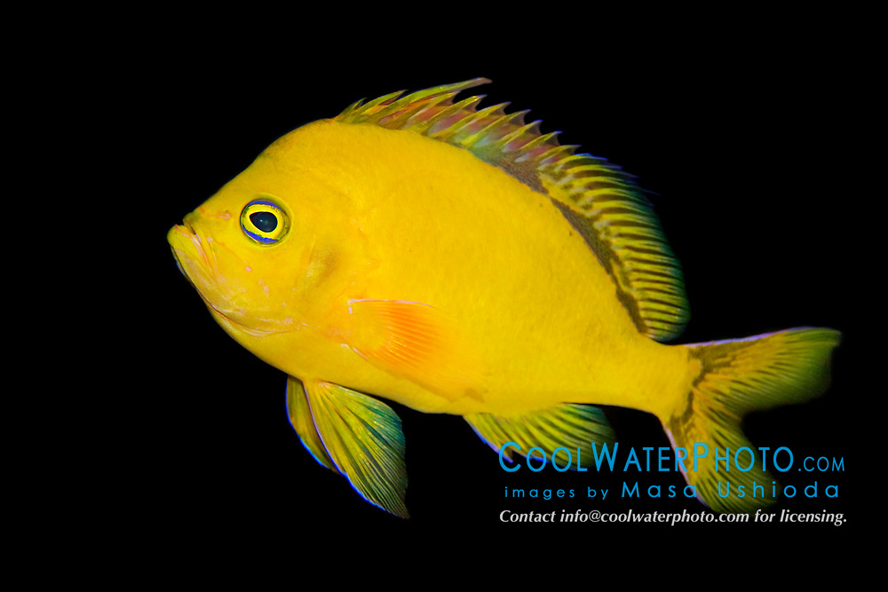 Hawaiian deep anthias or yellow anthias, Odontanthias fuscipinnis, very rare and endemic to Oahu, Hawaii, USA (c)