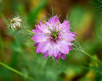 Love in a Mist flower. Image taken with a Leica SL2 camera and 90-280 mm lens.
