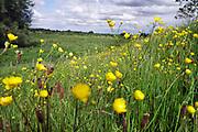Nederland, Ooijpolder, 13-5-2020  Aan de dijk groeien mooie veldbloemen zoals boterbloemen en distels in deze lente .Foto: Flip Franssen