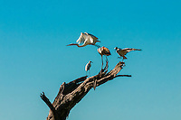 Birds standing on branch as a Great Egret takes off, Kwando Concession, Linyanti Marshes, Botswana. Kwando Concession, Linyanti Marshes, Botswana.