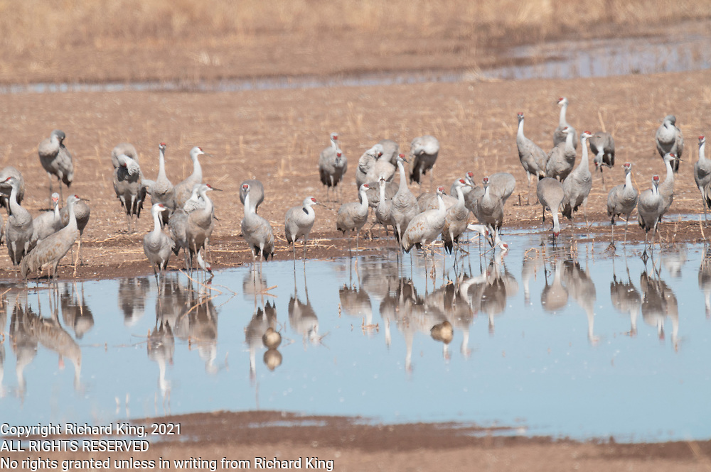 Photograph of Sandhill Crane (Grus canadensis) from Whitewater Draw Wildlife Area