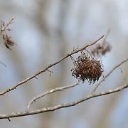 The skeletons of last years leaves at the start of spring.  Hillsborough, NJ