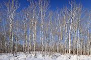 Trembling aspen in winter<br /> Prince Albert National Park<br /> Saskatchewan<br /> Canada