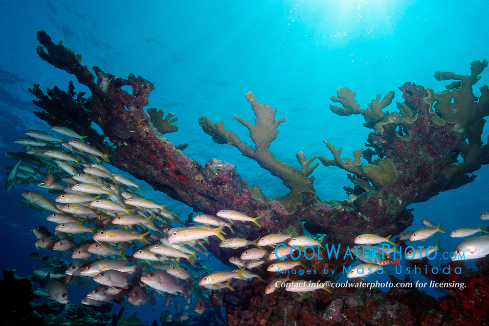 school of yellow goatfish, Mulloidichthys martinicus, and elkhorn coral, Acropora palmata, Molasses Reef, Key Largo, Florida Keys National Marine Sanctuary, Atlantic Ocean