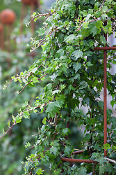 Hedera helix 'Green Ripple' (Ivy)