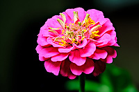Zinnia Flower. Composite of 23 focus stacked images taken with a Fuji X-T3 camera and 80 mm f/2.8 macro lens (ISO 160, 80 mm, f/5.6, 1/30 sec). Raw images processed with Capture One Pro and Helicon Focus