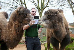 © Licensed to London News Pictures. 03/01/2019. London, UK. Mick Tiley, London Zoo keeper with Camels during the annual stocktake at London Zoo. London Zoo undertakes its annual stocktaking which is carried out at the the start of each year. Every animal in London Zoo is weighed and measured and the statistics is shared with other Zoos across the world.  Photo credit: Dinendra Haria/LNP