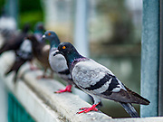 02 OCTOBER 2018 - BANGKOK, THAILAND: Pigeons on Chao Phraya River piers in Bangkok. Bangkok authorities are trying the get the pigeon population under control. They've imposed a fine of up to 25,000 Baht (about $750US) and/or three months in jail for feeding pigeons.    PHOTO BY JACK KURTZ