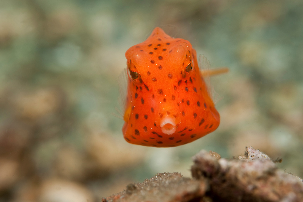 Juvenile Honeycomb Cowfish, Acanthostracion polygonius, swims over the gravel bottom of the Lake Worth Lagoon, Singer Island, Florida, marinelife Image available as a premium quality aluminum print ready to hang.