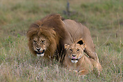A couple of mating lions, Panthera leo, the male snarling.