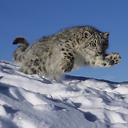 A five-month old snow leopard running. Captive Animal