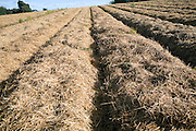 Straw clamping used to cover and protect carrot crop over winter, Shottisham, Suffolk, England