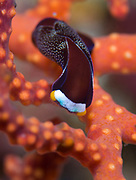 White speckled chelidonura: Chelidonura fulvipunctata on red branching coral at a depth of 15 metres, Florida Islands, Solomons