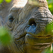 Portrait of a black rhino captured through the bushes.