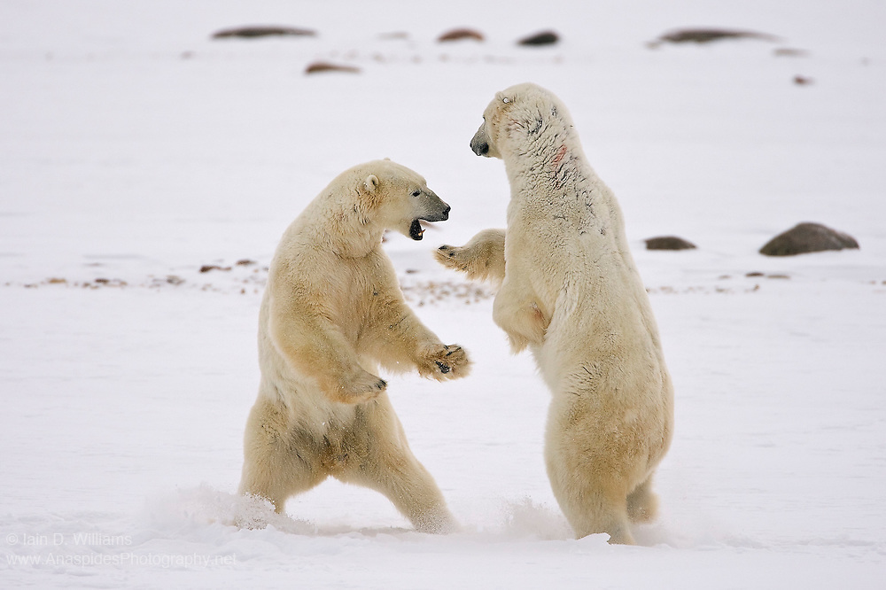 Two adolencent polar bears practice fighting in the high Arctic.  The training sessions are experience for when each of the bears must fight off rivals