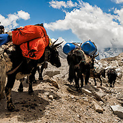 NEPAL. Everest Region, Khumjung. May 5th, 2012. Follow the yaks.