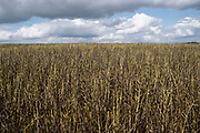 Field of drying blackened broad beans on 1st August in Hanbury, United Kingdom. Some farming practices allow for harvesting when the beane have dried, the pods blacken naturally and while they look burnt, this is just part of the process. The pods turn black as they dry.