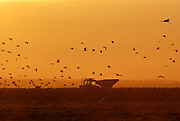 Israel, Hula Valley silhouette of a flock of Eurasian Cranes following a ploughing tractor at dusk