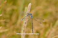 06033-00109 Sweetflag Spreadwing (Lestes forcipatus) damselfly male eating a Familiar Bluet (Enallagma civile) damselfly near wetland, Marion Co. IL