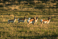 Pronghorn antelope are a common sight out on the grasslands. It's been said that they outnumber people in Wyoming. But I've always found them challenging to photograph. They are easily startled with their large eyes allowing them to see 320° around. Once they take off they are hard to keep up with, even in a car. Pronghorn can run at speeds of up to 60 mph. The only land animal in the world that's faster is the cheetah, but only in short bursts. Pronghorn are better at sustaining high speeds for long distances. While both males and females grow horns, they are also the only animal that shed their horns annually. I took advantage of the nice evening light and kept searching until I came across this young family near the side of a road.
