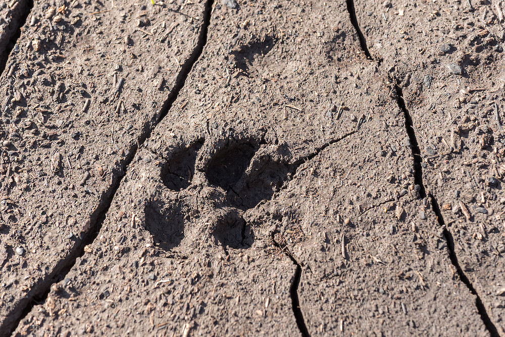 Coyote track in Oregon's Wenaha River canyon.