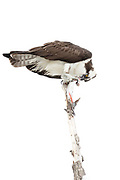 Stock photo of  osprey captured in Colorado.  This raptor feeds mainly on fish.  The feathers are highly water resistant and the feet are heavily scaled to better clamp onto the fish.