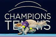 Hattie the balldog runs excitedly to catch some tennis balls in her mouth.<br /> Ball dogs step onto the court at the Royal Albert Hall for the first time in UK history during this year's Champions Tennis event in association with Skinner's Pet Food, with dogs provided by Canine Partners. <br /> During the Champions Tennis match at the Royal Albert Hall, London, United Kingdom on 6 December 2018. Picture by Ian Stephen.