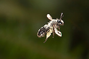 A female mining bee (genus: Andrena). Western Oregon. Photographed with a high-speed camera system.