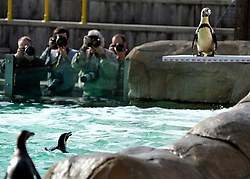 © Licensed to London News Pictures. 29/03/2012. London, UK. Photographers wait for a penguin to dive off the new board. Penguins discover a new diving board in their enclosure at London Zoo today 29 March 2012. The board has been granted the 'Inspire Mark' by the London 2012 Inspire programme which recognises ideas inspired by the Olympic Games. Photo credit : Stephen Simpson/LNP
