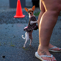 A chihuahu dog named Bella stands and leans on her owner the night before the Remote Area Medical clinic in Wise, Virginia July 19, 2012.  Organizers hope to bring free medical, dental and vision care to more than 3500 uninsured and underinsured people in the rural Virginia area.
