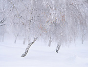 Snow and Icy Fog on Birch Trees, Oregon