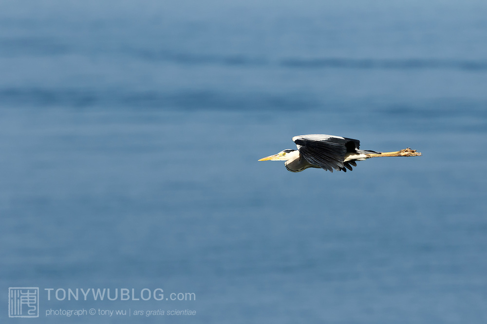 Grey heron (Ardea cinerea) with long lens held out straight. Photographed in Kochi prefecture, Japan. アオサギ