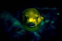 Dog-faced puffer or Blackspotted puffer - Poisson ballon a taches noires (Arothron nigropunctatus)