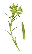 Dwarf Spurge - Euphorbia exigua