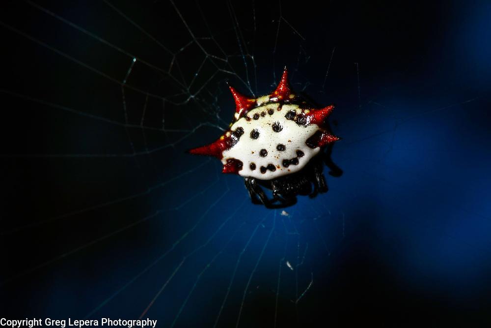 Crab-like Spiny Orbweaver
