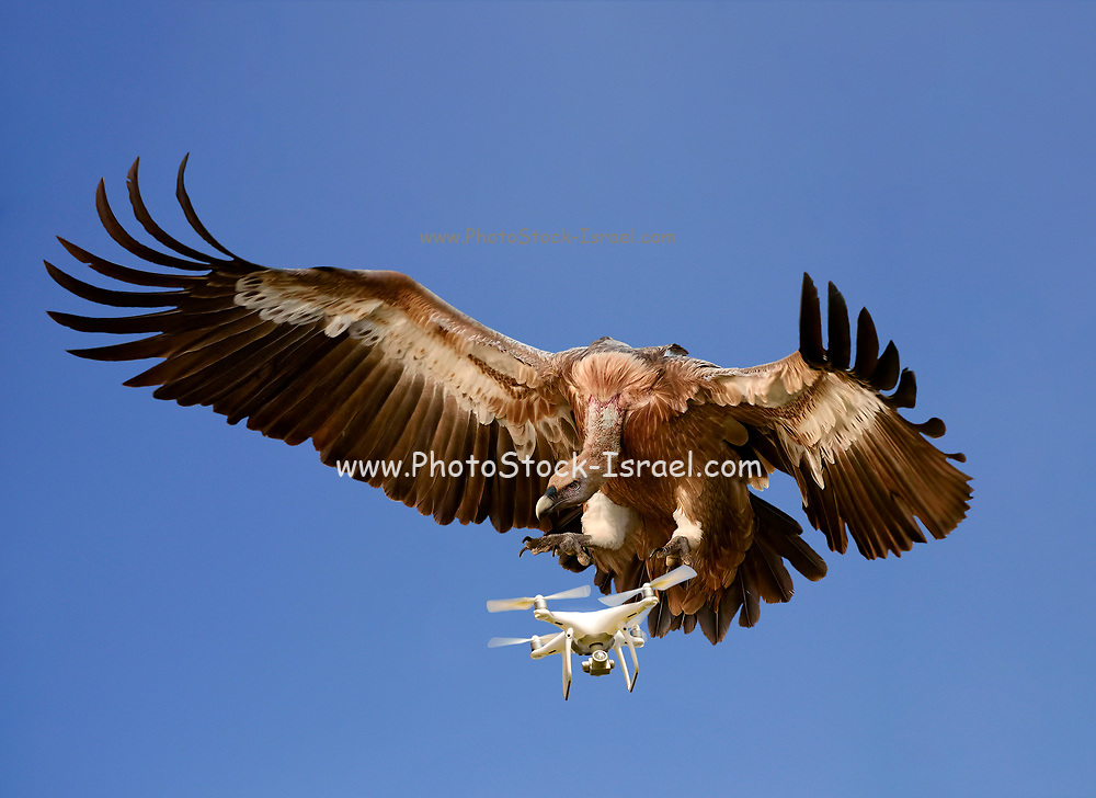 Digitally enhanced image of Nature Vs Technology concept. An eagle attacks an airborne drone on a blue sky background