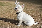MacDuff is a year-old Westie (West Highlands White Terrier). He didn't like a piece of plastic bag blowing in his face!