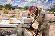 """23 APRIL 2007 -- FT. MCDOWELL, AZ: DENNIS ARP, an Arizona beekeeper, checks and tends his hives on the Ft. McDowell Indian Reservation about 50 miles from Phoenix. Arp has been a commercial beekeeper in Flagstaff, AZ, for more than 20 years. He said he lost almost 50 percent of his hives in the last year for no apparent reason. The syndrome has been termed """"Colony Collapse Disorder"""" and was first reported on the East Coast of the US last fall. Researchers do not know what is causing the disorder. Stress, parasites, disease, pesticides and a lack of genetic diversity are all being investigated. German researchers are also studying the possibility that radiation from cellphones is scrambling the bees' internal navigation systems. Arp said CCD has cost him about $60,000 (US) between replacement bees and contracts lost because so many of his hives have disappeared.  Photo by Jack Kurtz"""