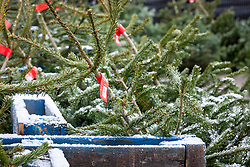 Christmas trees for sale in a garden centre