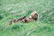 Grizzly bear nursing cubs in Denali National Park.