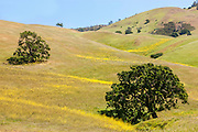 Oak trees and yellow wildflowers line the rolling hills of Diablo State Park near Clayton, California.