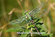 06361-005.01 Common Green Darner (Anax junius) teneral (juvenal) Marion Co. IL